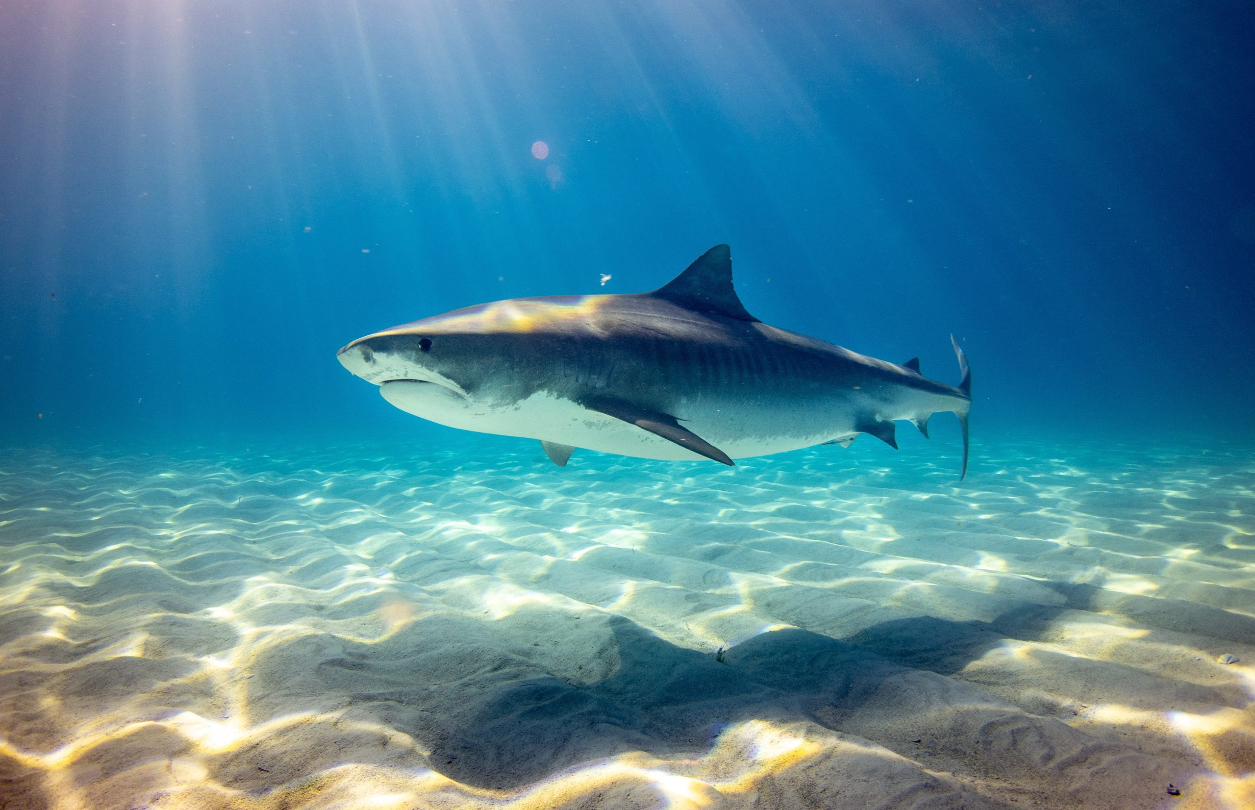 Great white sharks eat more bottom-dwelling fish than